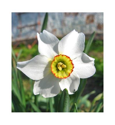 December Narcissus Flower